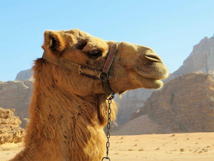 wadi_rum_camel
