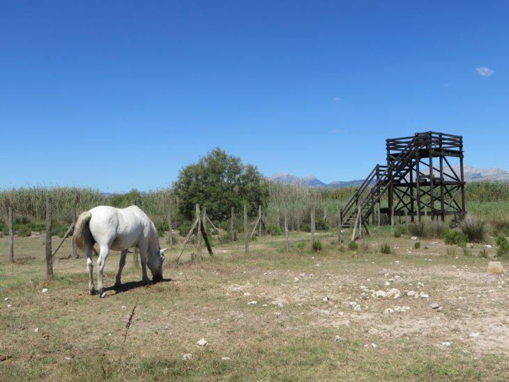 camargue_horse_mallorca