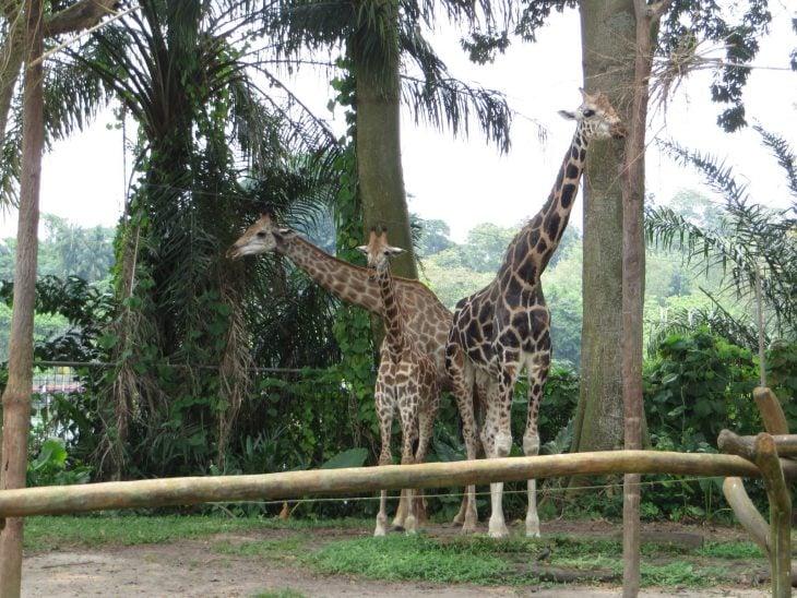 kirahvit_singapore_zoo
