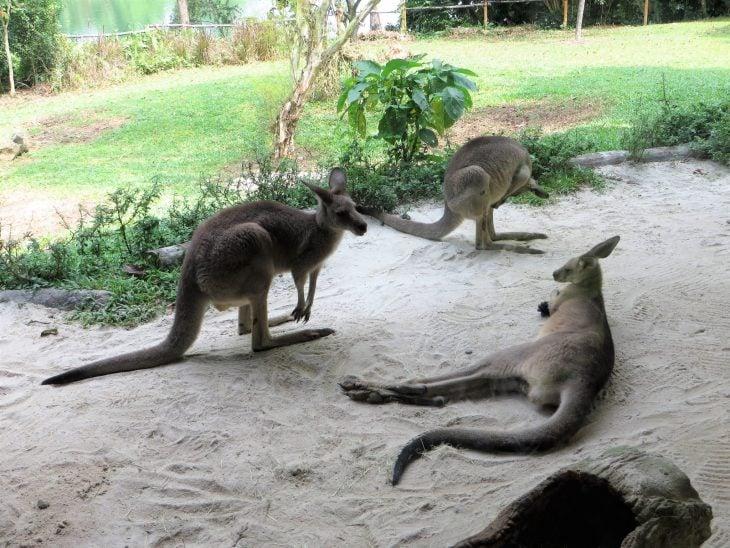 kengurut_singapore_zoo