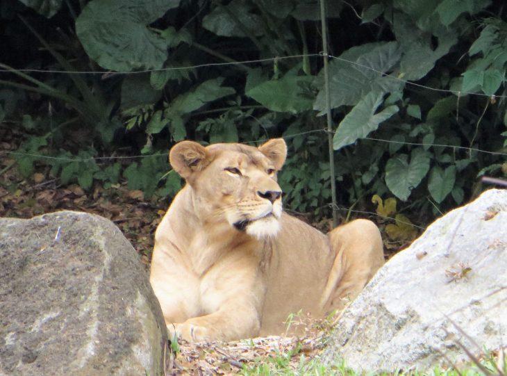 lion_singapore_zoo