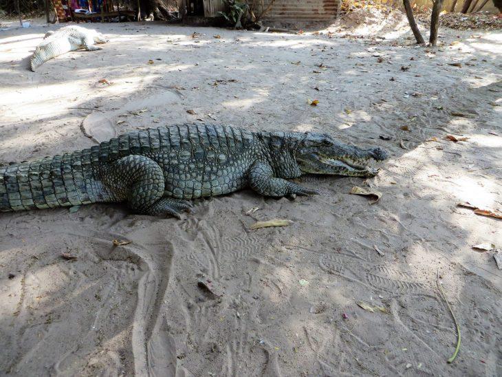 gambia_krokotiili