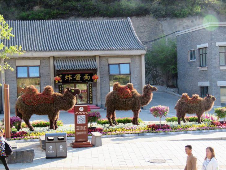 camels badaling