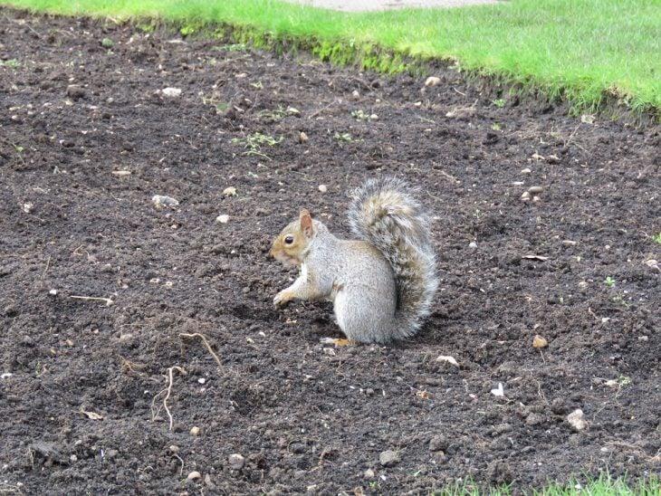 Hyde parkin orava