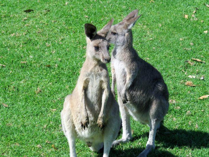 oakvale-wildpark-kengurut