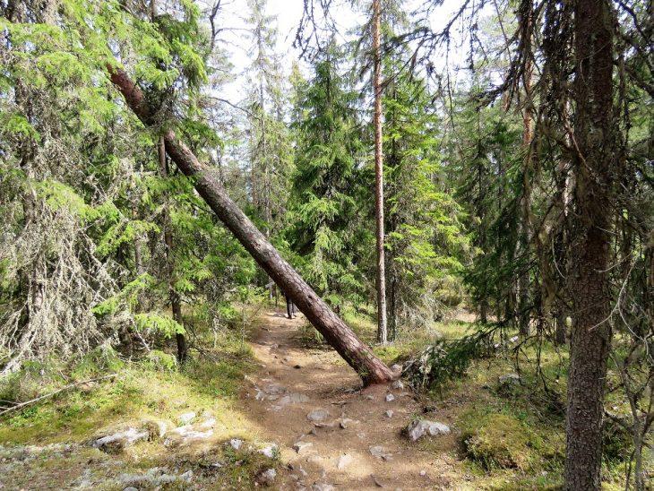 tiirismaan-kierros-kaatunut-puu