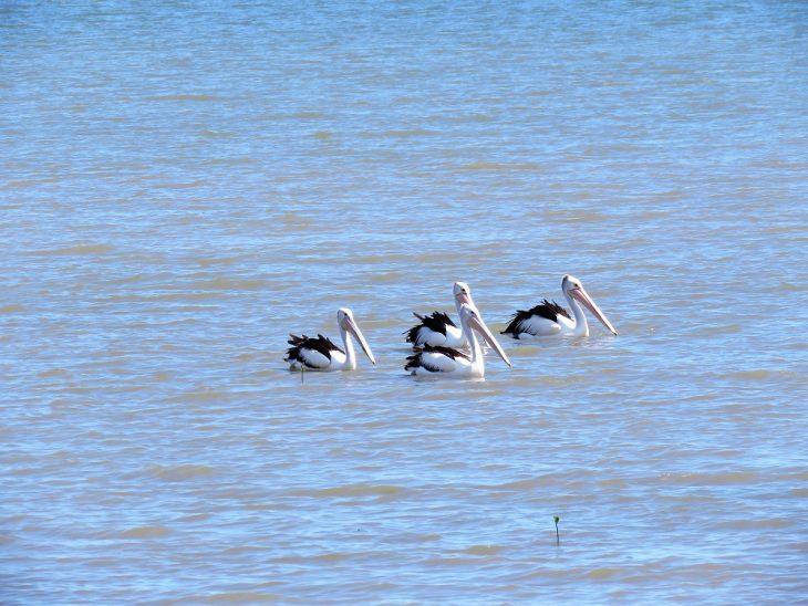 cairns-pelikaanit