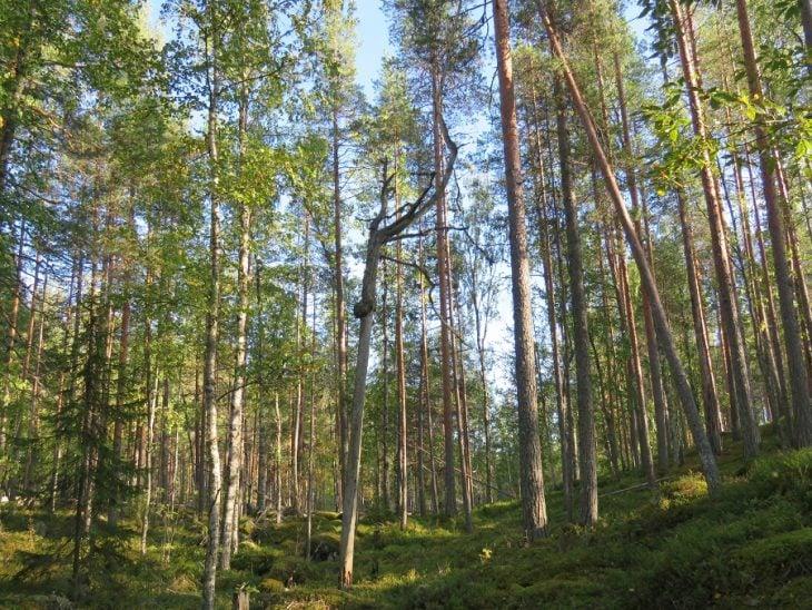 kangasniemi-hiisilammen-metsaa