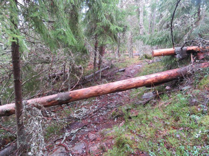 reitille-kaatuneet-puut