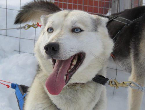 husky-siniset-silmat