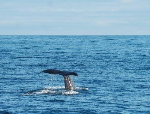 valaan pyrstö valassafarilla pohjois-norjassa