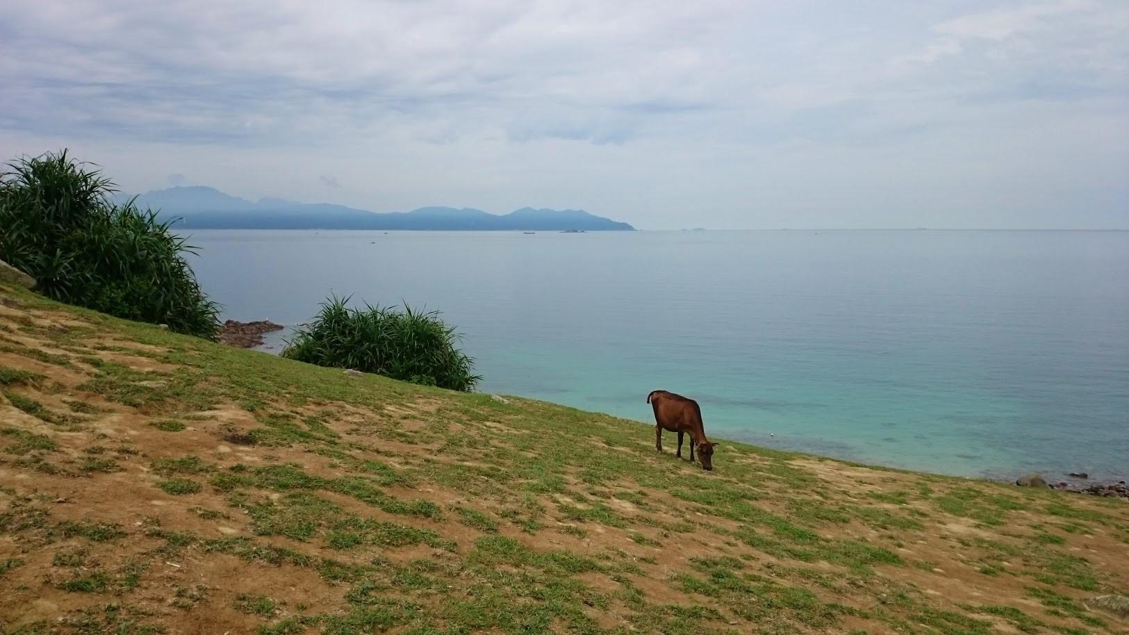 Saarella laiduntaa villiä karjaa