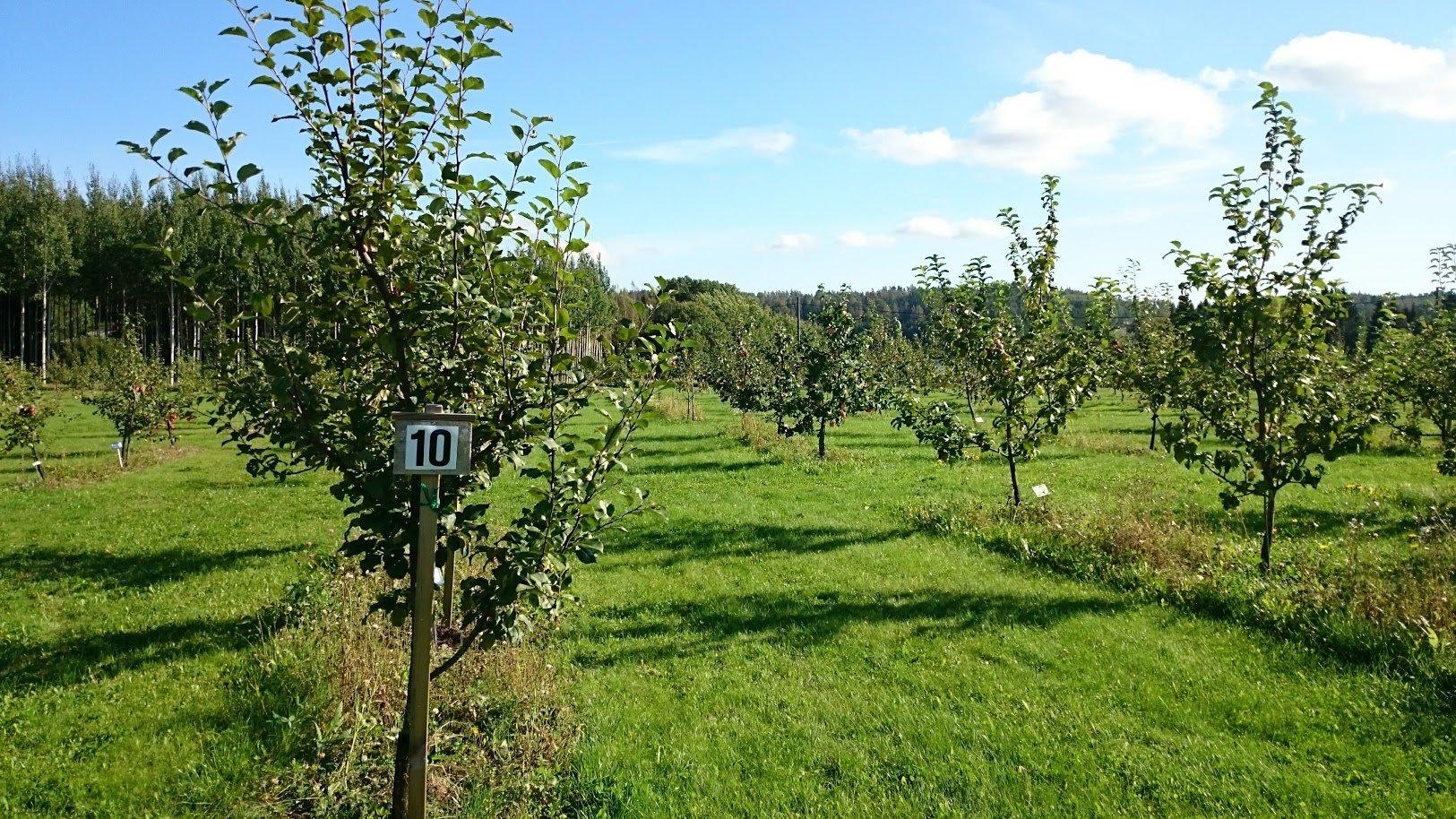 Fruticetum Lohjansaari omenatarha