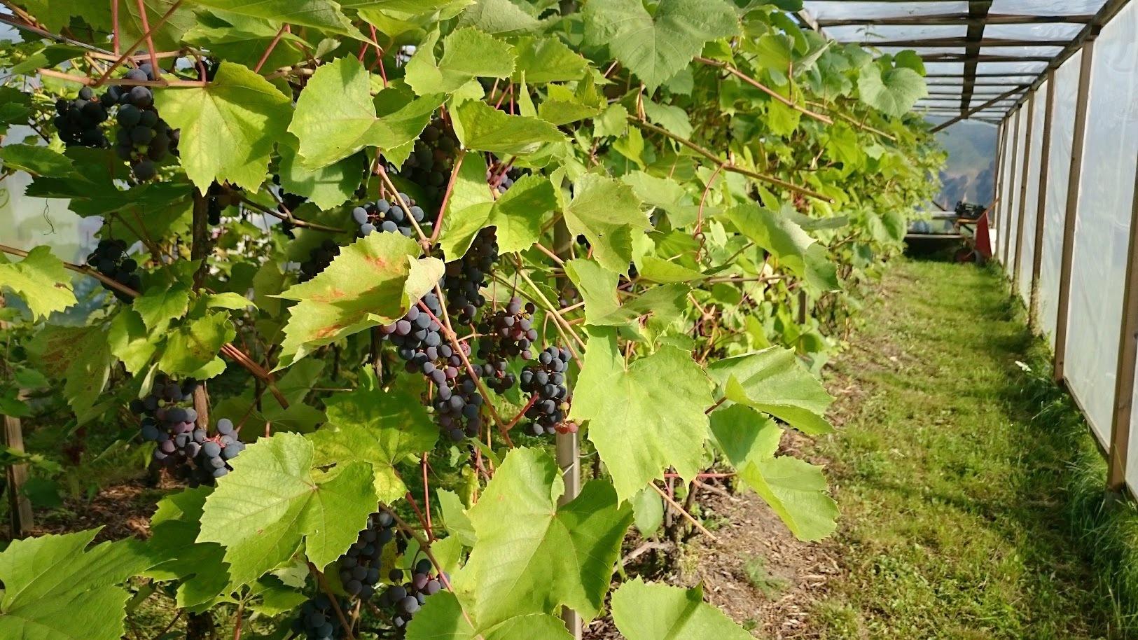 Fruticetum Lohjansaari viiniköynnös