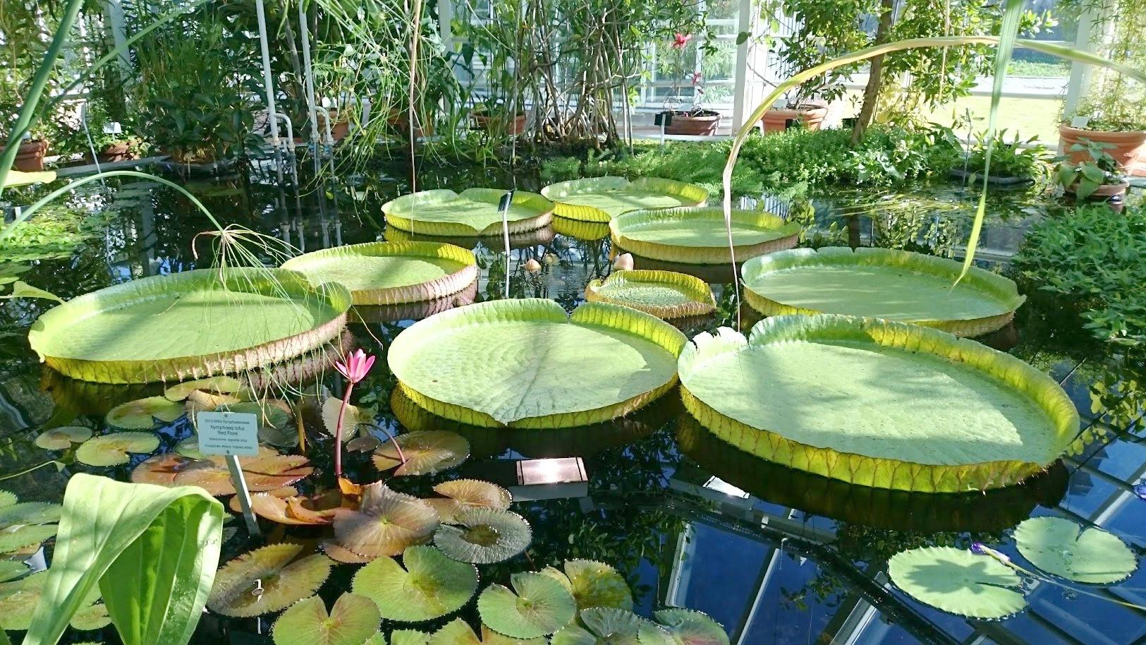 Kaisaniemen kasvitieteellinen puutarha jättilumpeet