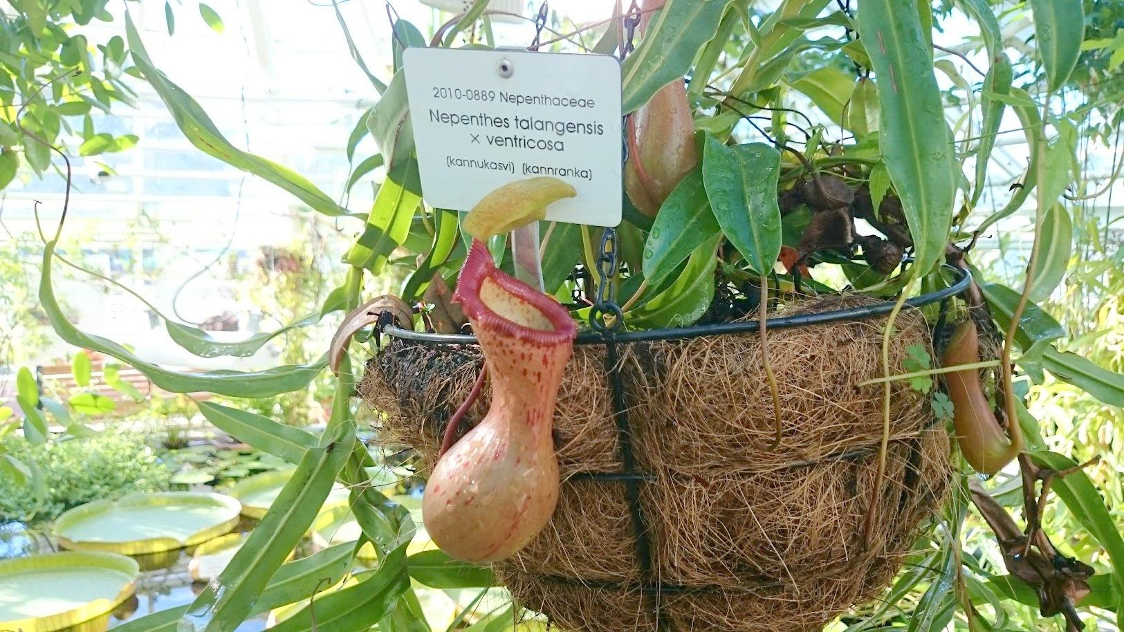 Kaisaniemen kasvitieteellinen puutarha kannukasvi