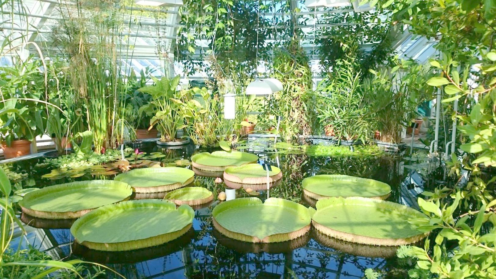 Kaisaniemen kasvitieteellinen puutarha lumpeet