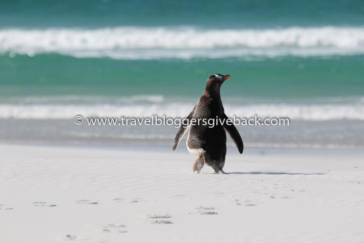 03_pingviini_falklandinsaaret_elina_mc3a4lkic3a4