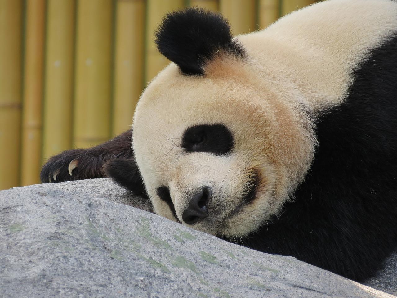 ähtäri panda pandapolitiikka