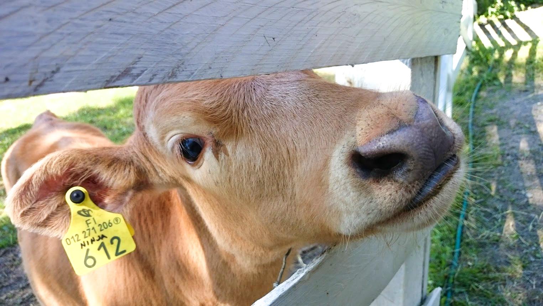 tekemistä Tampereella kesä lehmä ahlman maatila