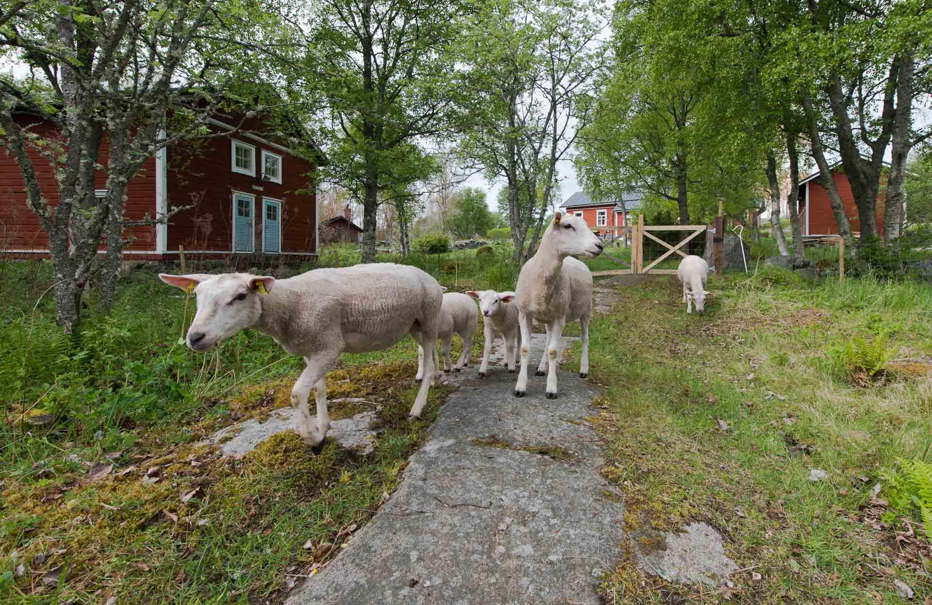 isokari majakka lampaat lammaspaimen