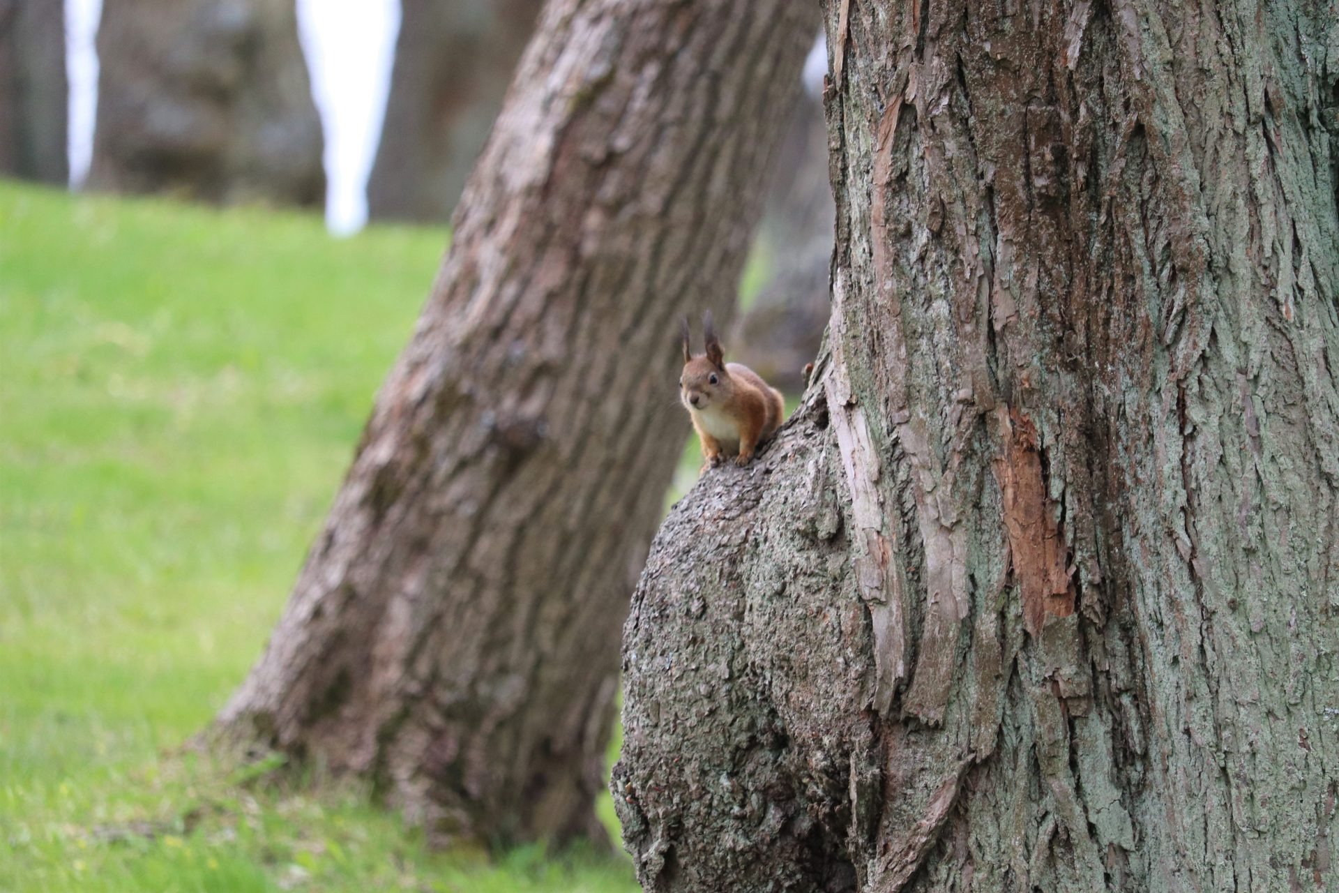 Hatanpää arboretum kevät puisto orava Tampere