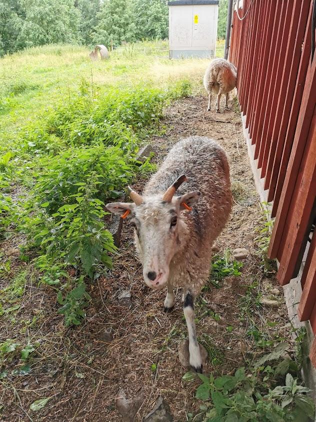kenkävero lammas
