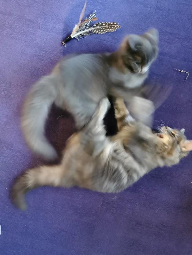 kissakahvila purnauskis tampere kissa kissanpentu