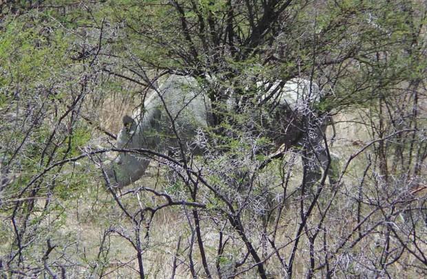 Päivän parasta antia oli sarvikuonon bongaaminen. Jani Laine kiipesi Ajokin katolle ottamaan kuvan.