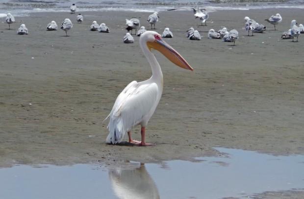 Walvis Bayn valtava pelikaani.