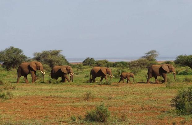 Pienten elefanttien marssi.