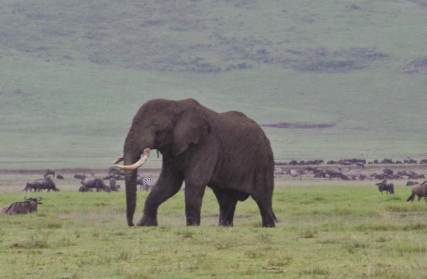Elefantteja elää Ngoronkorossa vain muutamia. Kooltaan ne ovat poikkeuksellisen suuria.