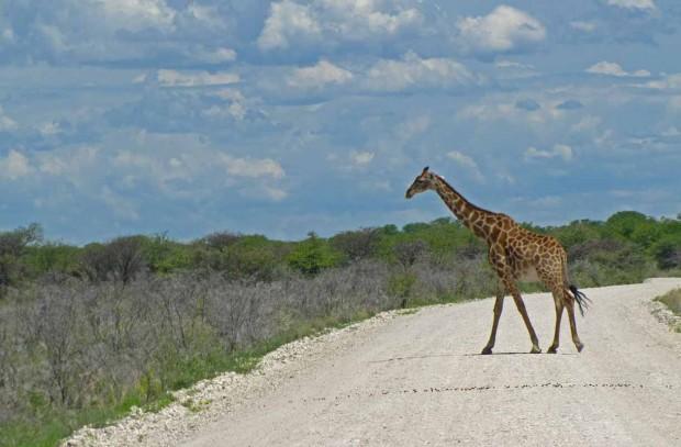 Välillä tiellä oli myös kirahveja.