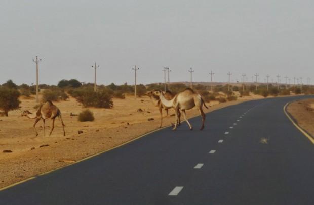 Matkalla näkyi välillä muutamia kameleita. Epäselväksi jäi, olivatko kamelit villejä vai jonkun omistuksessa.