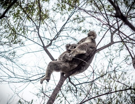 magnetic island koalat