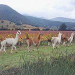 Wine touring llamas in Santa Cruz  colchagua santacruz chilehellip