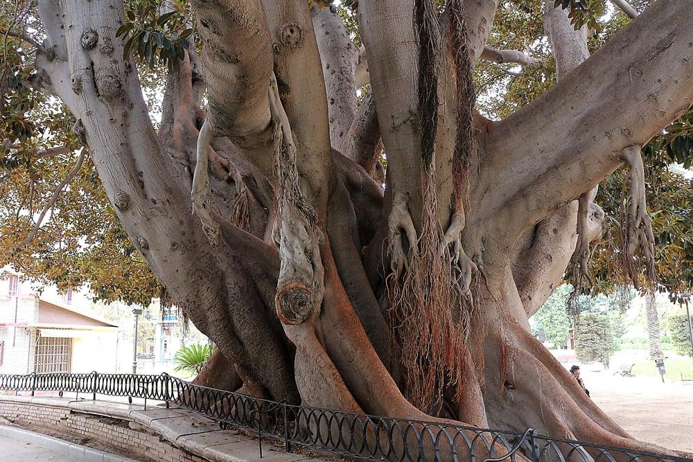 Valencia tree