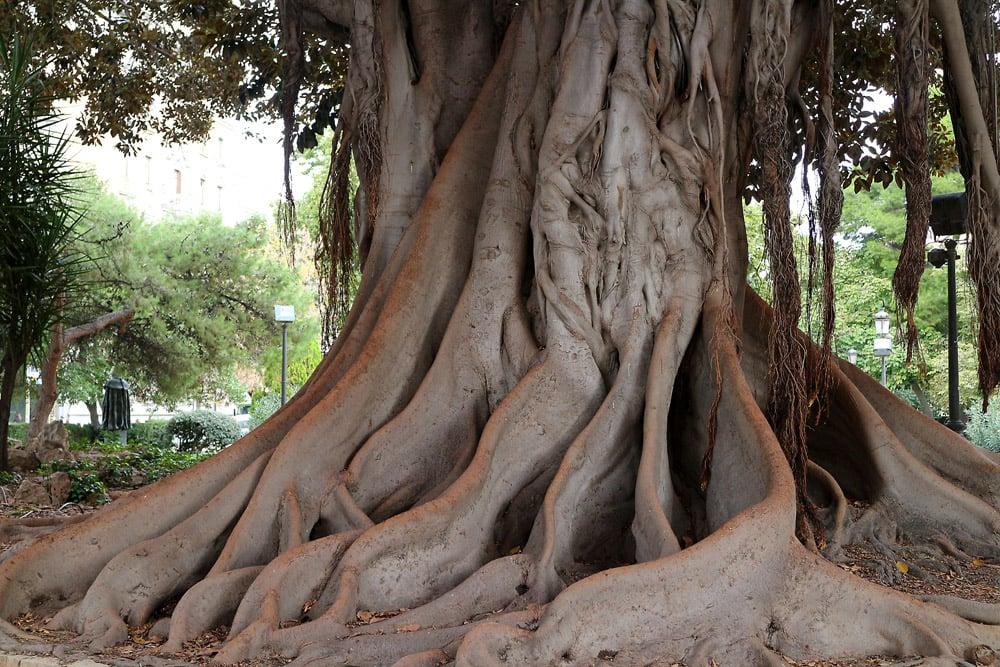 Valencia tree2