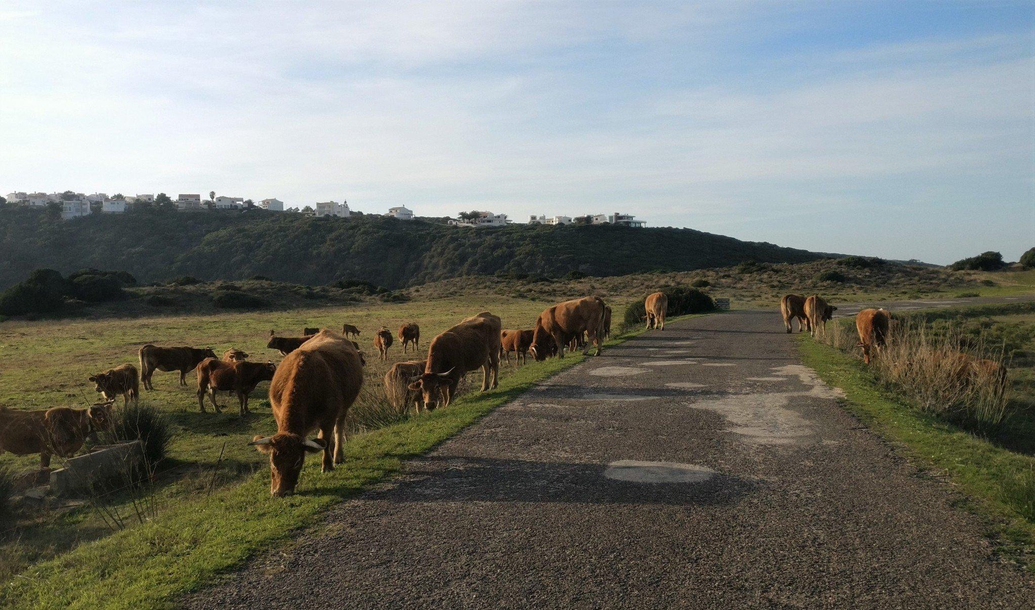 Lehmät tiellä