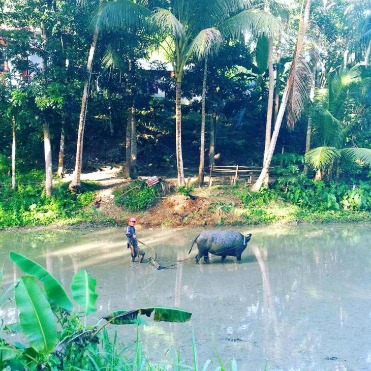 Mies kylvämässä riisiä pellossa härän kanssa.