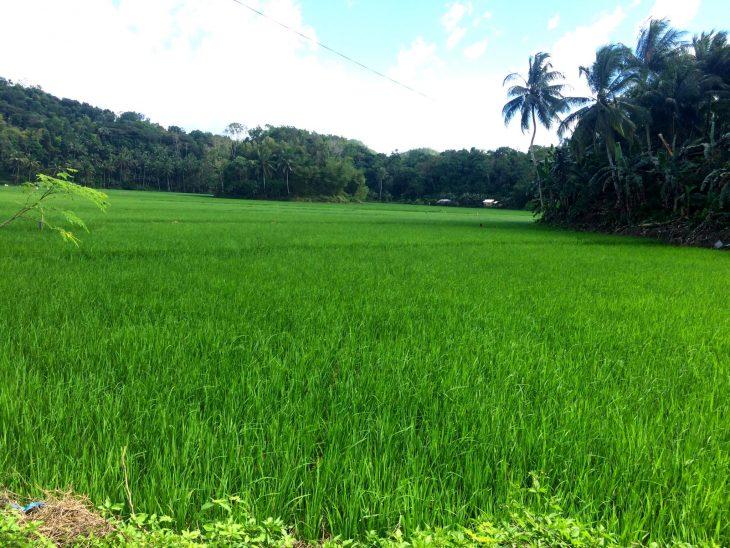 Riisipelto Aasiassa. Vihreää palmu metsää.