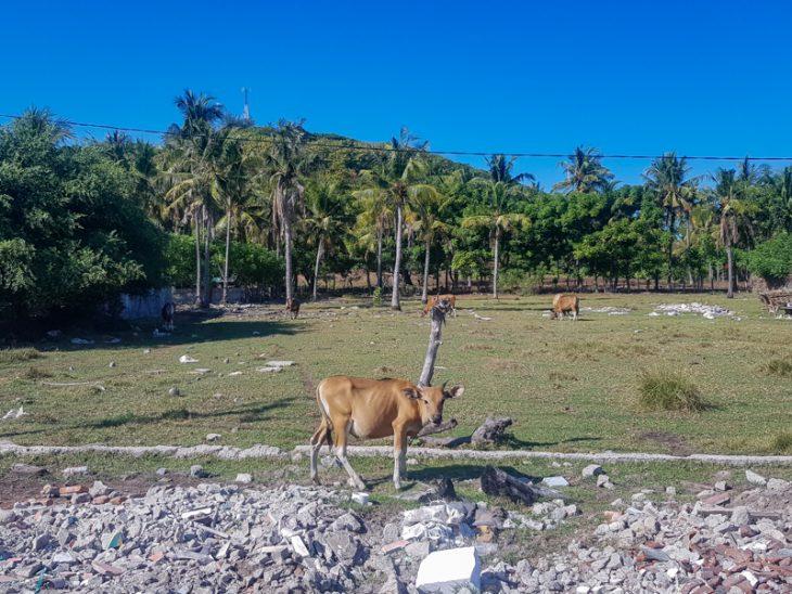 lehma seisoo pellon laidalla ja tuijottaa