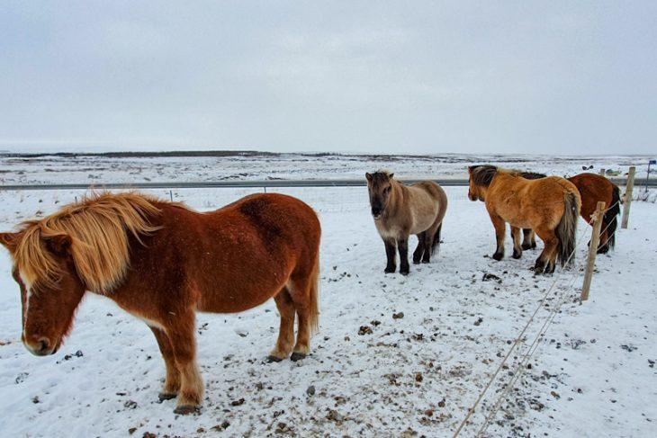 Icelandic horses standing in snow