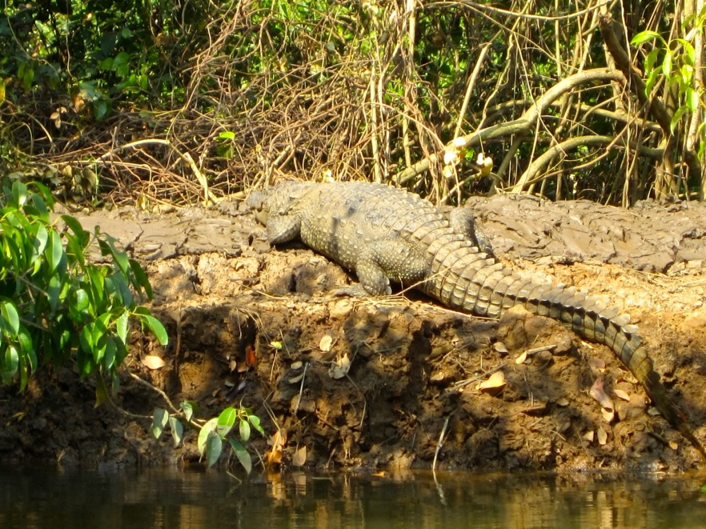 Goa crocodile