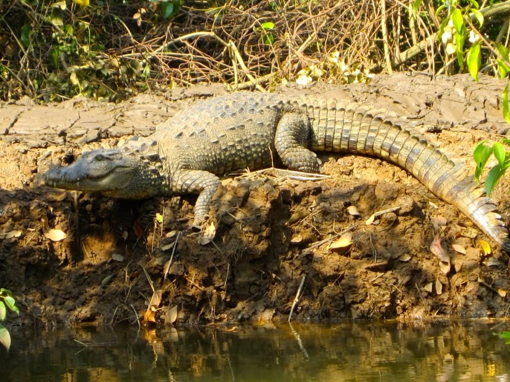 Goa crocodile trip
