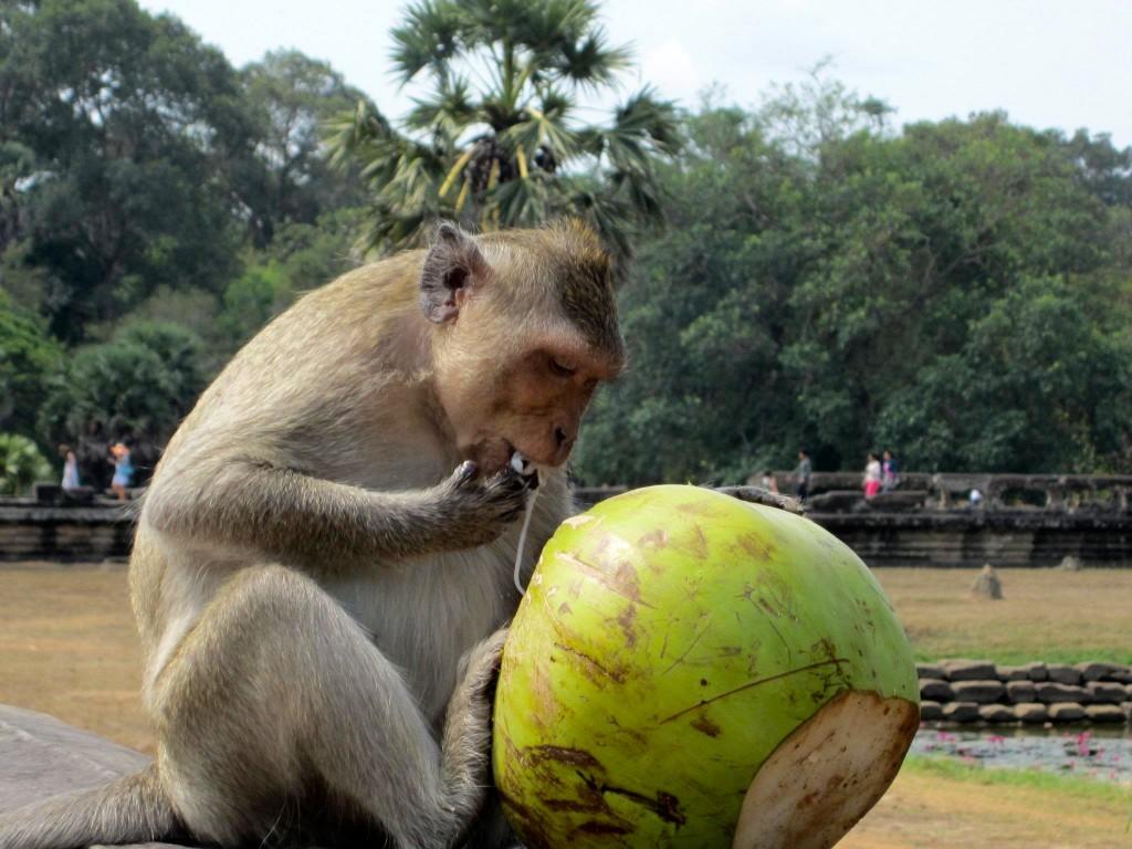 Siem Reap Monkey