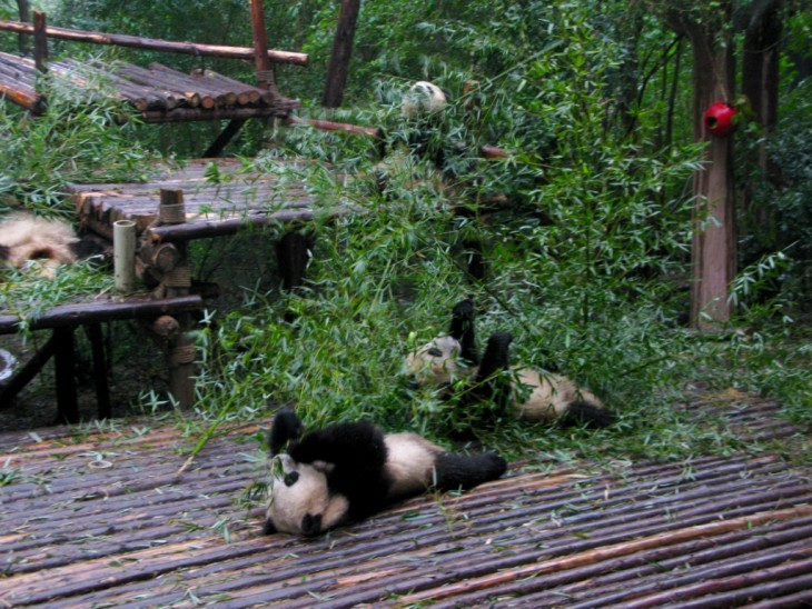 Chengdu pandas eating bambu
