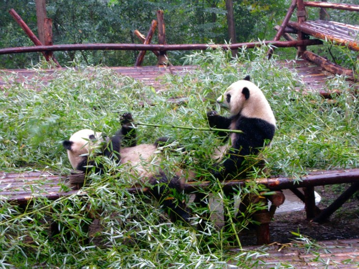Chengdu two pandas eating bambuu