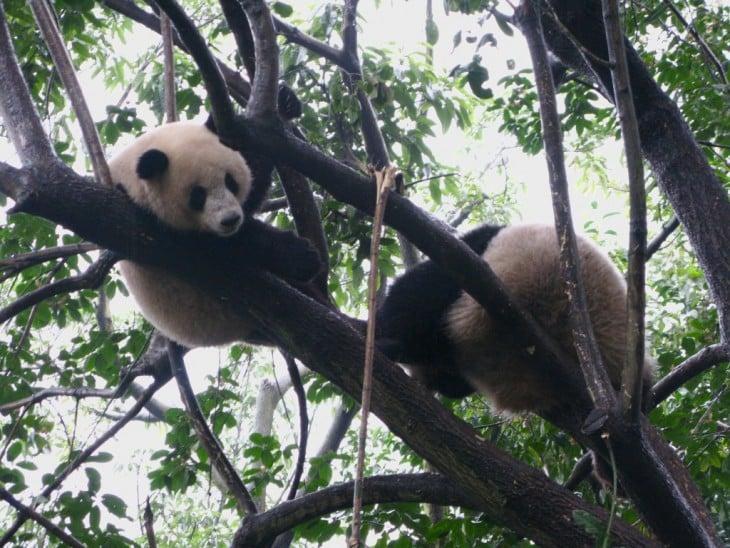 Chengdu pandas in the tree