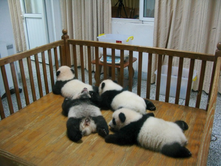 Chengdu four little baby pandas
